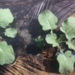 茎ブロッコリー1