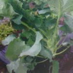 茎ブロッコリー2