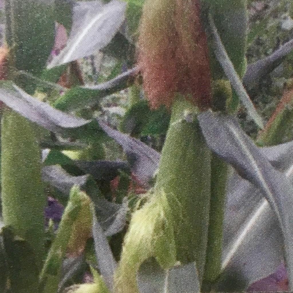 トウモロコシ8