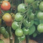 ミニトマト6